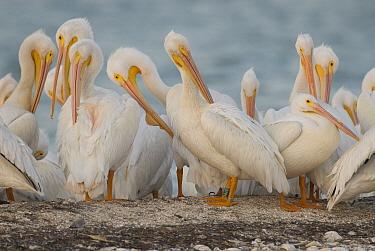American White Pelican (Pelecanus erythrorhynchos) flock preening, Gasparilla Sound, Florida  -  Steve Gettle
