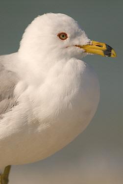 Ring-billed Gull (Larus delawarensis), Fort Desoto Park, Florida  -  Steve Gettle