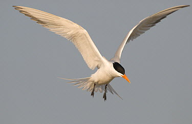 Royal Tern (Thalasseus maximus) flying, Fort Desoto Park, Florida  -  Steve Gettle