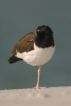 American Oystercatcher (Haematopus palliatus) sleeping, Fort Desoto Park, Florida  -  Steve Gettle