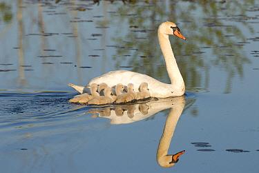 Mute Swan (Cygnus olor) with cygnets, Kensington Metropark, Milford, Michigan  -  Steve Gettle