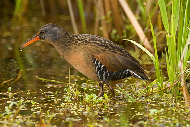 Virginia Rail (Rallus limicola), Ohio  -  Steve Gettle