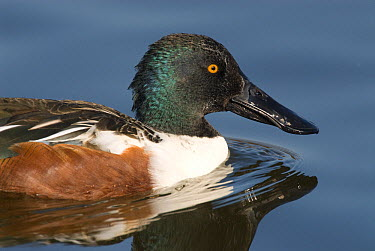 Northern Shoveler (Anas clypeata) male swimming, Kellogg Bird Sanctuary, Michigan  -  Steve Gettle