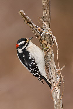 Downy Woodpecker (Picoides pubescens) male, Kensington Metropark, Milford, Michigan  -  Steve Gettle