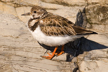 Ruddy Turnstone (Arenaria interpres), Barnegat Light, New Jersey  -  Steve Gettle