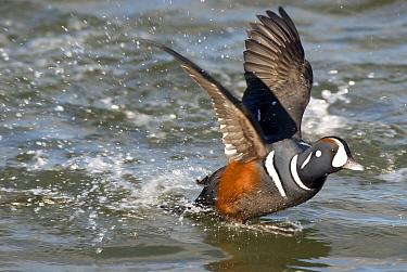 Harlequin Duck (Histrionicus histrionicus) male taking flight, Barnegat Light, New Jersey  -  Steve Gettle