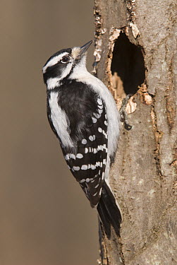 Downy Woodpecker (Picoides pubescens) female at nest cavity, Kensington Metropark, Milford, Michigan  -  Steve Gettle