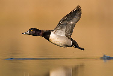 Ring-necked Duck (Aythya collaris) male flying, Island Lake Recreation Area, Michigan  -  Steve Gettle