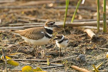 Killdeer (Charadrius vociferus) with chick, Crane Creek State Park, Ohio  -  Steve Gettle