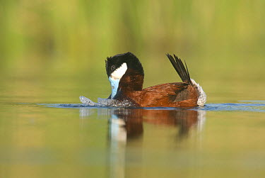 Ruddy Duck (Oxyura jamaicensis) male displaying, J. Clark Salyer National Wildlife Refuge, North Dakota  -  Steve Gettle