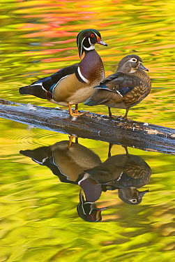 Wood Duck (Aix sponsa) pair, North Chagrin Reservation, Ohio  -  Steve Gettle