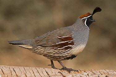 Gambel's Quail (Callipepla gambelii) male, Bosque del Apache National Wildlife Refuge, New Mexico  -  Steve Gettle