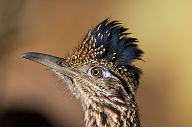 Greater Roadrunner (Geococcyx californianus), Bosque del Apache National Wildlife Refuge, New Mexico  -  Steve Gettle