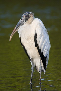 Wood Stork (Mycteria americana), Merritt Island National Wildlife Refuge, Florida  -  Steve Gettle