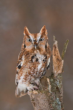 Eastern Screech Owl (Megascops asio) red morph, Howell Nature Center, Michigan. Sequence 1 of 2  -  Steve Gettle