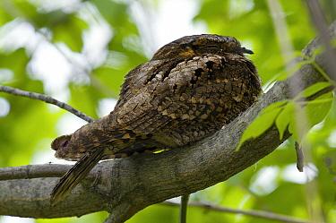 Whip-poor-will (Caprimulgus vociferus) sleeping, Crane Creek State Park, Ohio  -  Steve Gettle