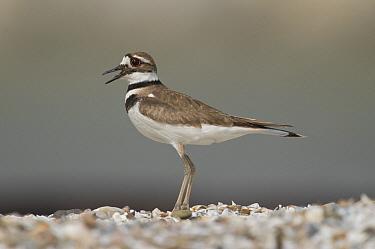 Killdeer (Charadrius vociferus) calling, Crane Creek State Park, Ohio  -  Steve Gettle