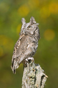 Eastern Screech Owl (Megascops asio) gray morph, Howell Nature Center, Michigan  -  Steve Gettle