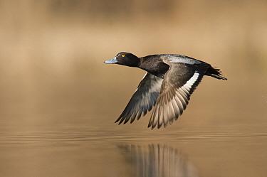 Greater Scaup (Aythya marila) male flying, Island Lake Recreation Area, Michigan  -  Steve Gettle
