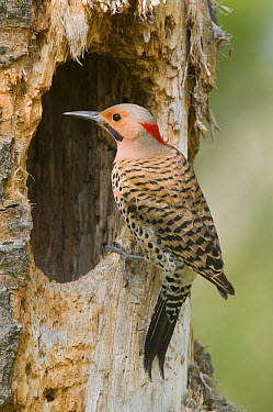Northern Flicker (Colaptes auratus) at nest cavity, Rifle River Recreation Area, Michigan  -  Steve Gettle