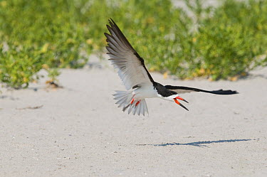Black Skimmer (Rynchops niger) flying, Nickerson County Beach Park, New York  -  Steve Gettle
