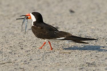 Black Skimmer (Rynchops niger) carrying fish prey, Nickerson County Beach Park, New York  -  Steve Gettle