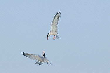 Common Tern (Sterna hirundo) pair fighting, Nickerson County Beach Park, New York  -  Steve Gettle