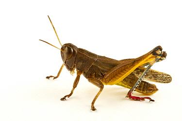 Grasshopper (Heteracris sp), Fort Fordyce Nature Reserve, Eastern Cape, South Africa  -  Piotr Naskrecki