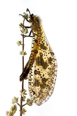 Antlion (Palpares sp) on twig, Fort Fordyce Nature Reserve, Eastern Cape, South Africa  -  Piotr Naskrecki