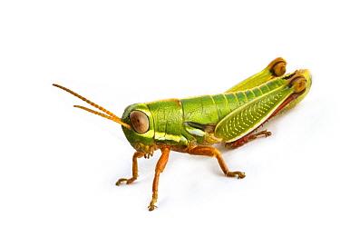 Wingless Grasshopper (Lentula sp), Fort Fordyce Nature Reserve, Eastern Cape, South Africa  -  Piotr Naskrecki