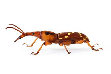 Straight-snouted Weevil (Arrhenodes sp), La Selva Biological Research Station, Heredia, Costa Rica  -  Piotr Naskrecki