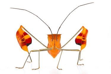 Flag-footed Bug (Anisocelis flavolineata), Barbilla National Park, Costa Rica  -  Piotr Naskrecki