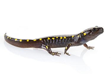 Spotted Salamander (Ambystoma maculatum), Connecticut  -  Piotr Naskrecki