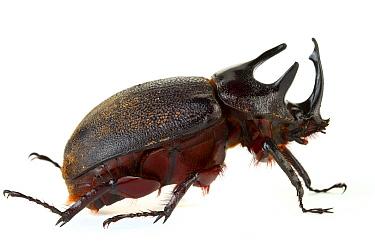 Rhinoceros Beetle (Dynastinae) male, Tapanti National Park, Cartago, Costa Rica  -  Piotr Naskrecki