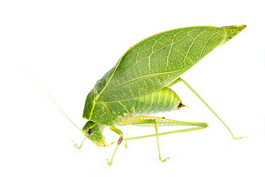 Katydid (Microcentrum sp) leaf mimic, La Selva Biological Research Station, Heredia, Costa Rica  -  Piotr Naskrecki