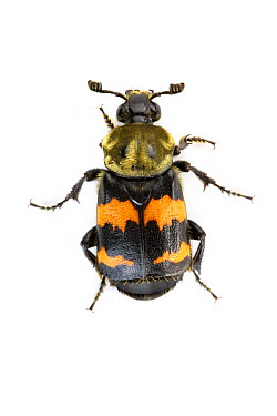 Tomentose Burying Beetle (Nicrophorus tomentosus) with aposematic coloration, Woburn, Massachusetts  -  Piotr Naskrecki