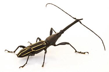 Straight-snouted Weevil (Brentidae), La Selva Biological Research Station, Heredia, Costa Rica  -  Piotr Naskrecki