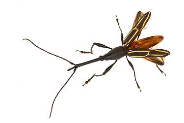 Straight-snouted Weevil (Brentidae) displaying, La Selva Biological Research Station, Heredia, Costa Rica  -  Piotr Naskrecki