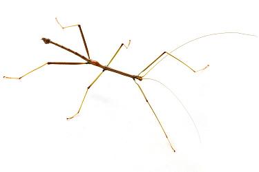 Stick Insect (Oncotophasma sp), La Selva Biological Research Station, Heredia, Costa Rica  -  Piotr Naskrecki