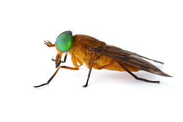 Horse Fly (Tabanus fulmineus), La Selva Biological Research Station, Heredia, Costa Rica  -  Piotr Naskrecki