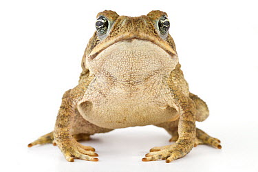 Cane Toad (Bufo marinus), La Selva Biological Research Station, Heredia, Costa Rica  -  Piotr Naskrecki