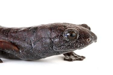Ring-tailed Salamander (Bolitoglossa robusta), Tapanti National Park, Cartago, Costa Rica  -  Piotr Naskrecki