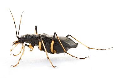 Shiny Sharp-lipped Tiger Beetle (Oxycheila polita), Barbilla National Park, Costa Rica  -  Piotr Naskrecki