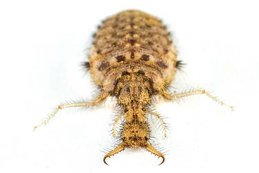 Antlion (Myrmeleontidae) larva, Barbilla National Park, Costa Rica  -  Piotr Naskrecki