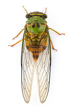 Cicada (Cicadidae), Barbilla National Park, Costa Rica  -  Piotr Naskrecki