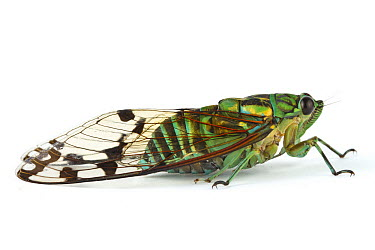 Emerald Cicada (Zamara smaragdina), Barbilla National Park, Costa Rica  -  Piotr Naskrecki