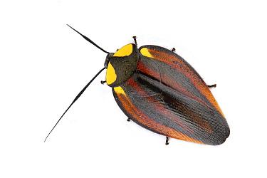 Beautiful Day Cockroach (Paratropes bilunata), Barbilla National Park, Costa Rica  -  Piotr Naskrecki