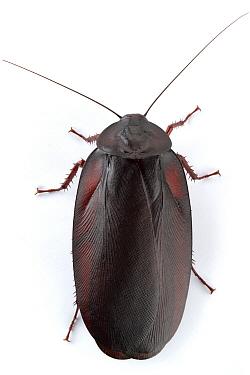 Wood Cockroach (Megaloblatta blaberoides), Barbilla National Park, Costa Rica  -  Piotr Naskrecki