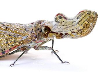 Lantern Bug (Fulgora sp), La Selva Biological Research Station, Heredia, Costa Rica  -  Piotr Naskrecki