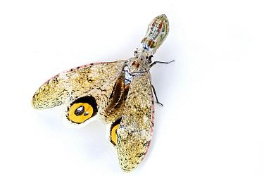 Lantern Bug (Fulgora sp) spreading wings showing false eyespots, La Selva Biological Research Station, Heredia, Costa Rica  -  Piotr Naskrecki